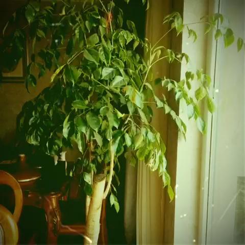 老婆养的幸福树开花了