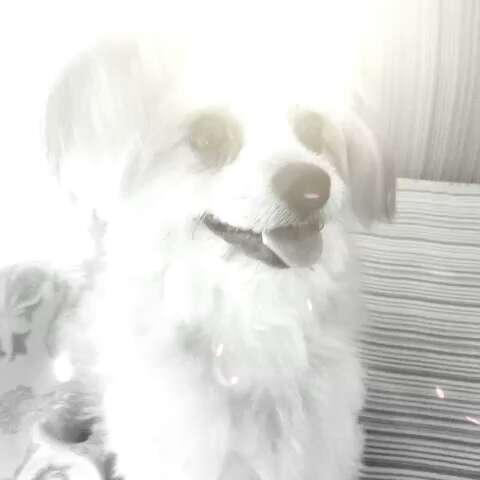 会跳舞的狗