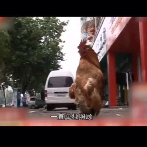 #60秒美拍#??????安徽神鸡,公鸡中的战斗机 欧耶!!!《囧