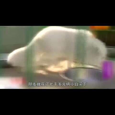 #60秒美拍##囧闻一箩筐#《囧闻一箩筐》【男子七千元买萨摩