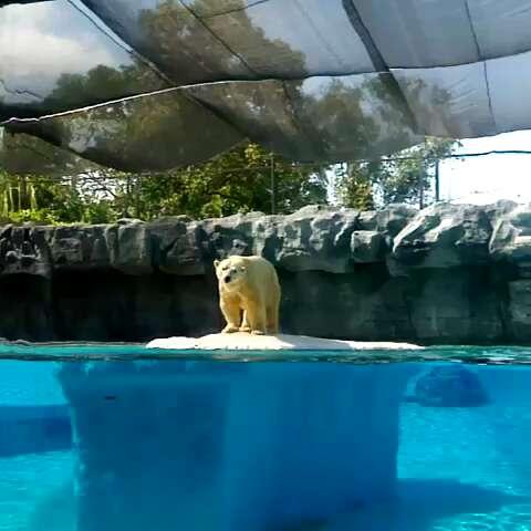 新加坡动物园.24岁北极熊