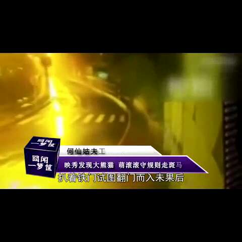 #美拍60秒##囧闻一箩筐#【映秀发现大熊猫 萌滚滚守则走斑