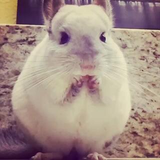 #宠物##卖萌#到底有多萌,请看小吃货吃食物的慢动作!😄😊😘