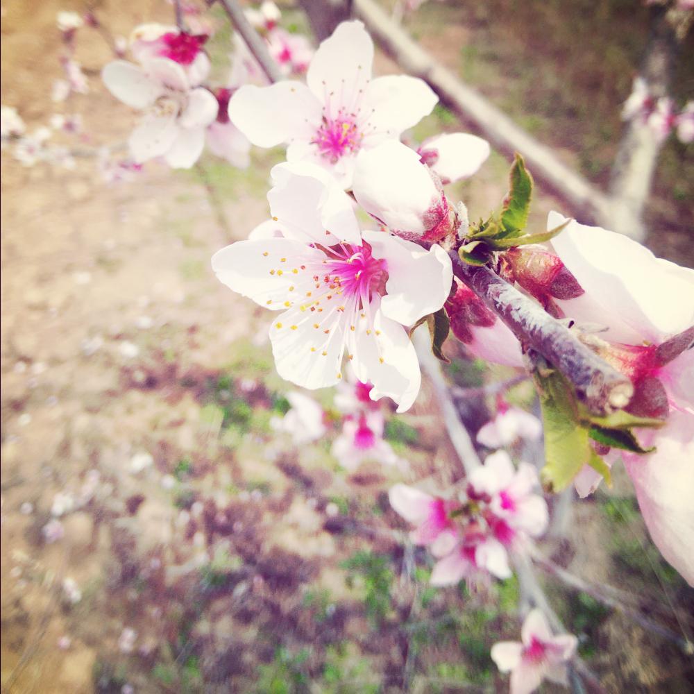 桃花树# 桃花庵里桃花树,桃花树下种桃人.桃色花开粉