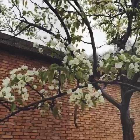 老家的梨树