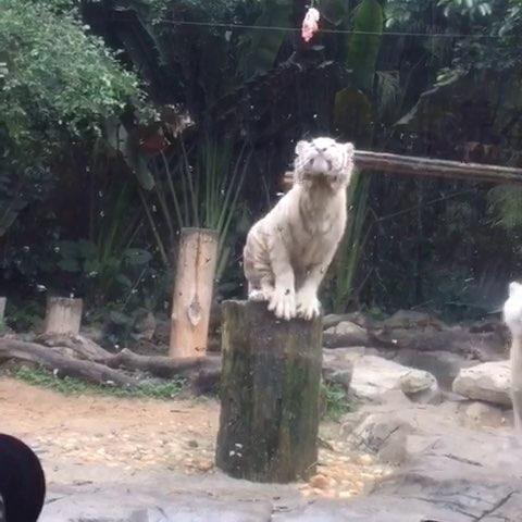 广州长隆野生动物园#长隆野生动物园##大白虎#跳水冠军