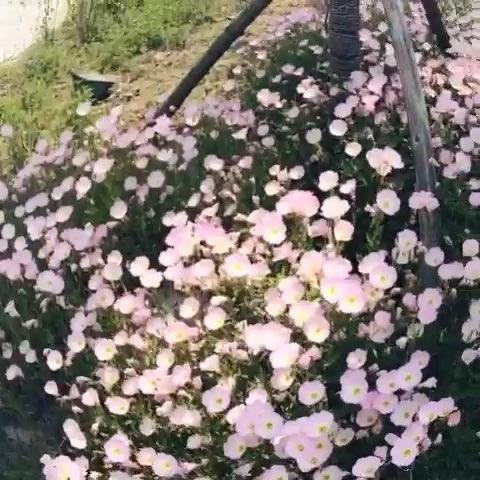 亚菊- 飘落的叶~的美拍
