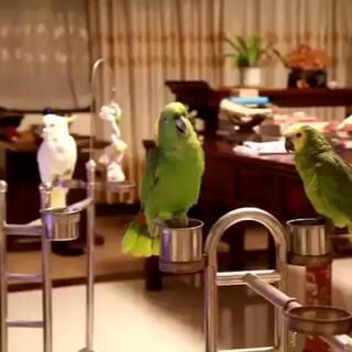 爱好音乐的鹦鹉