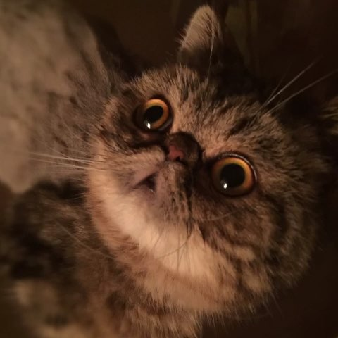 加菲猫是什么品种