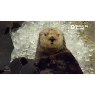 146 吃冰块后来了脑结冰的水獭。大家应该也都有过这种经验吧😝#可爱##我要上热门#@美拍小助手