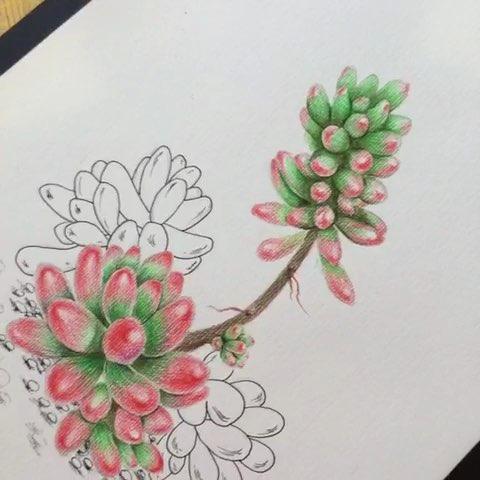 手绘彩铅#多肉植物