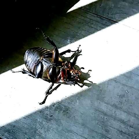 圣甲虫手绘