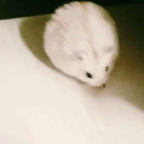 仓鼠#萌宠小仓鼠