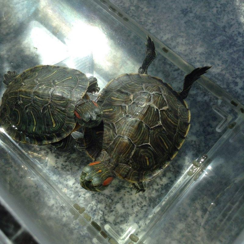 西瓜雕刻乌龟图片大全