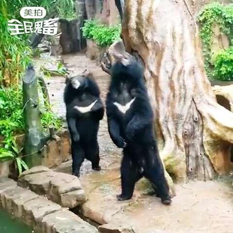 狗熊会跳舞了