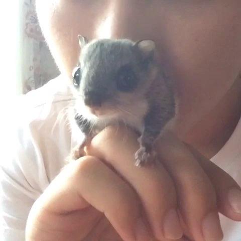 萌萌哒#宠物##飞鼠