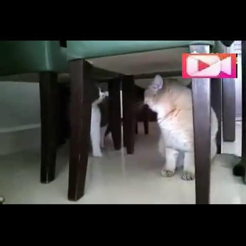 "GIF快手看片和大家分享:快手视频《两只喵星人之间的对话》搞笑动物,灰喵:""你这胖子躲在这干嘛?吓死本宝宝了!"" 黄喵:""你才是胖子!你全家都是胖子!""快手看片分享搞笑动物的快手视频"
