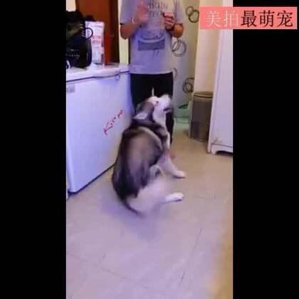 #宠物##逗比#演技太浮夸了,二哈!😏😏😂