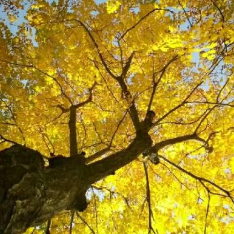 壁纸 风景 森林 银杏 银杏树 银杏叶 桌面 480_480