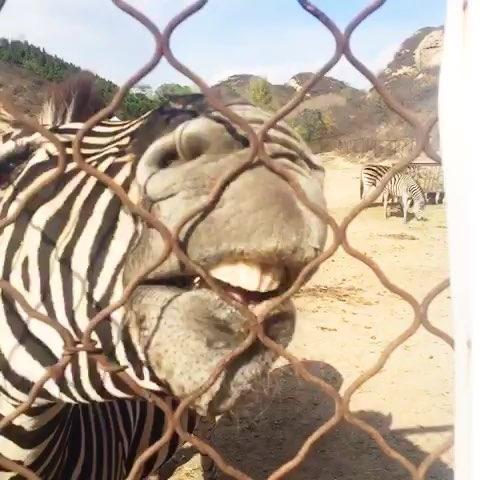宠物直播吃饭##周一##北京野生动物园#咦…快来喂我
