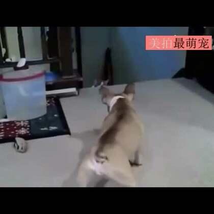 #宠物#狗狗一开始还很嚣张地挑衅喵,没想到后来…哈哈哈,画风转变太快我一人承受不来…😂😂😂