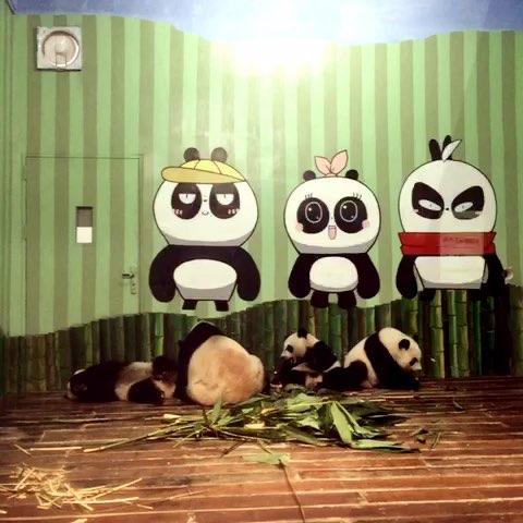 熊猫妈妈和三胞胎宝宝
