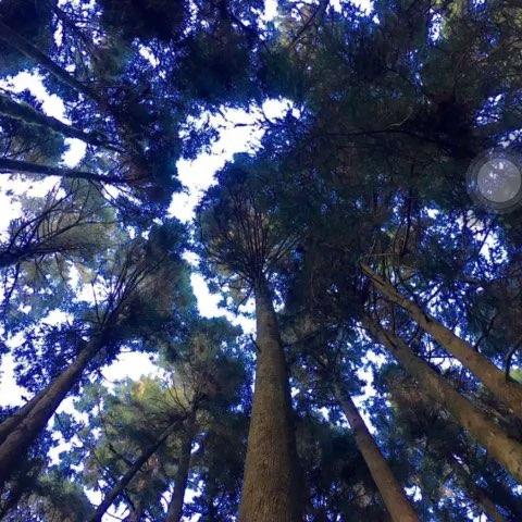 阿里山的参天神树