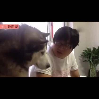 #宠物##搞笑#主人用东北话训二哈:出来混至少得整个纹身吧,你瞅你那脸长得跟米老鼠似的,咋滴还犟嘴哈。😏😂