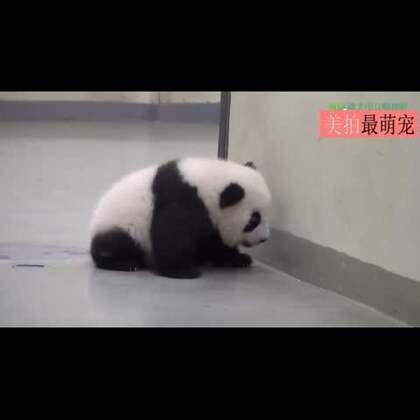 #宠物#熊猫宝宝自己出门逛,被妈妈发现后当场拽回家......妈,我好歹也是一国之宝,能不能给留点面子,众目睽睽的都给我拽劈叉了,让我以后咋混。。😂