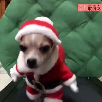 #宠物##圣诞节#原来今年的圣诞老人是只狗狗,这是在赶路吧!😂😂
