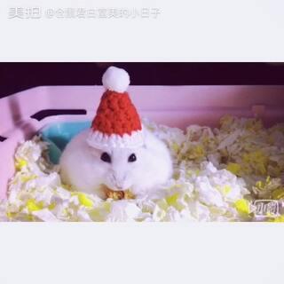 #仓鼠##宠物##圣诞节# 白富美和铲屎官祝大家圣诞快乐哦!😄😄😄👯👯🎉🎄🎅