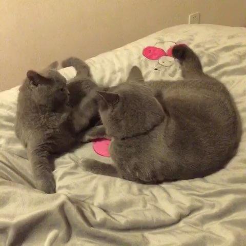 猫吃醋的表现猫星人-猫吃醋的表现