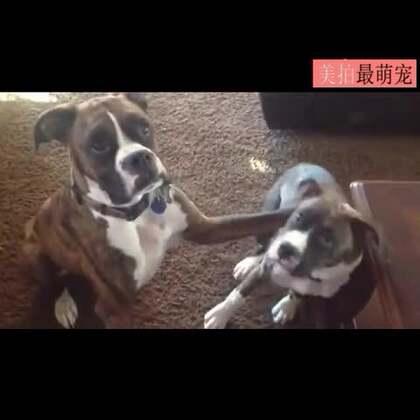 #宠物#谁是你最好的朋友?万万没想到有一天我竟然被狗虐,上狗粮 。。😂