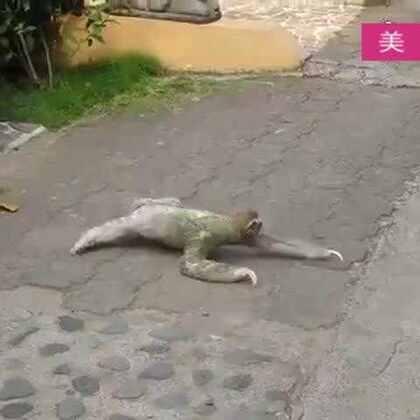 #宠物#卧槽!树懒,爬行速度比乌龟还慢的一种奇葩存在,你们感受下!☺😀