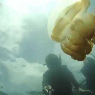 #随手美拍#世界唯一的无毒水母湖