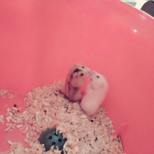 可爱小仓鼠的搞笑表情