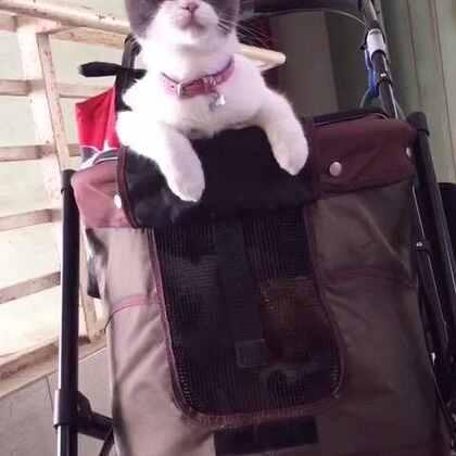 🐱:带着汪哥兜风去,还有一起的么🙋#宠物##兜风#