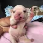 #宠物#刚出生几天的法斗宝宝,肉嘟嘟的样子,卧槽,简直萌翻了!😍