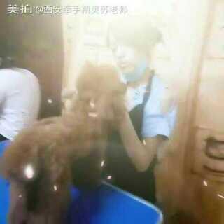西安牵手精灵宠物美容学校:宠物美容B级第42期,学生王宇,泰迪创意造型课!!!#宠物##宠物装扮大赛##随手美拍#