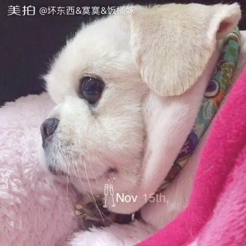 晚安女生心大品种#宝贝##少女:剃了毛的京巴串宠物月亮严重刑克图片