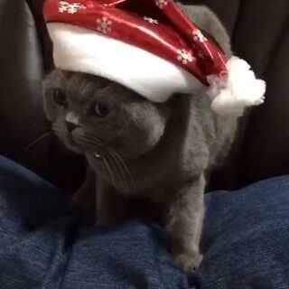 #萌宠圣诞cosplay##宠物##家有三宝--猫咪# 家里三宝㊗️大家🎄🎄圣诞快乐🎄🎄。你们喜欢哪位小主儿的扮相呢?!😸😸
