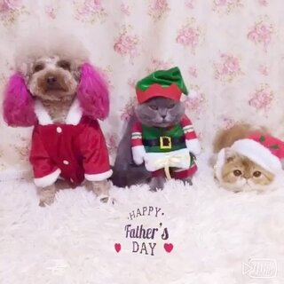 圣诞装扮篇1⃣️🎅三宝祝美拍里喜欢我们的叔叔姨姨们圣诞节快乐🎄🎉😜,平安夜别忘记吃苹果🍎哦#萌宠圣诞cosplay##宠物#