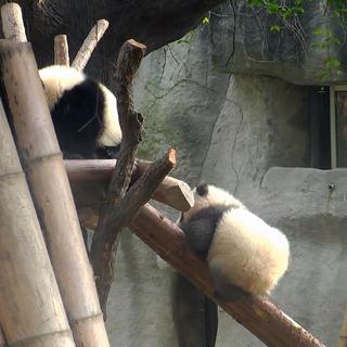 """#精彩一刻# """"小灰灰""""爬木架掉了下去,直接摔懵了,不过经过短暂的休整便继续往上爬。 绝不轻言放弃才是熊家本色 看更多精彩视频,来 #iPanda熊猫频道# http://webapp.cntv.cn/h5/www_ipanda/U70876HRC6.html"""