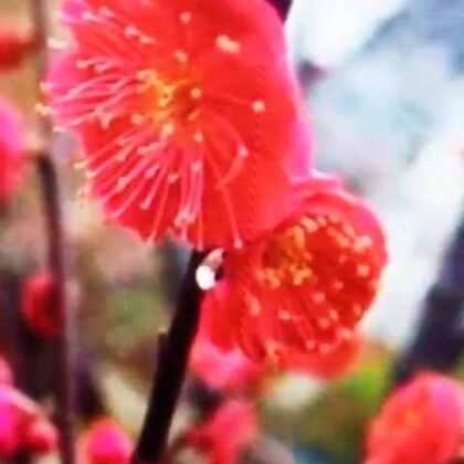 【立春🌹梅花分外艳】…#美拍##美拍小助手##立春梅花分外艳##美拍小魔术##搞笑视频##幽默搞笑#…【立春】了,树木发芽,小草变绿。小鸟在树上欢快地唱着歌儿,鲜花绽放。特别是喜春的梅花儿更是美丽迷人。春天真美。请欣赏小羊糕有声影集【云朵】视频展示【立春梅花分外艳】…