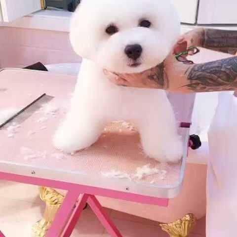 小威士忌今天换了一个新发型#宠物##萌宠乐园减短发需要烫吗图片