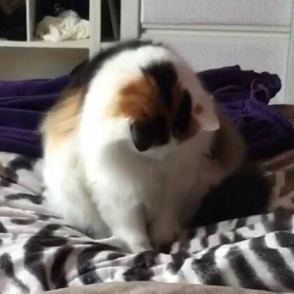 #宠物#小莎子的搓搓舞跳的如何?😁😁😁///(微信:douchai78,添加微信宠物医生,可以浏览更多养宠物的知识,免费咨询)#喵星人#