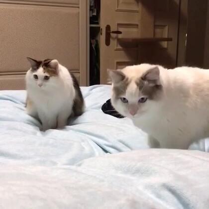 #宠物#傻猫逗的一怂一怂的……😆,看完不准说铲屎的有病😆🙈。