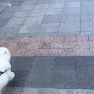 萨摩耶与长板 雪橇犬就是厉害#萨摩耶##长板##雪橇犬#@美拍小助手