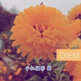 #江西中医药大学##手机摄影##菊花#,江中的菊花开了