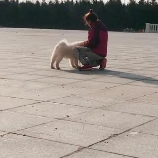 """小小""""拉菲""""备赛训练开始喽!臭小孩各方面都棒棒的!#宠物##萨摩耶##雪橇犬#"""